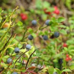 Nature in Finland and the Lakes berries