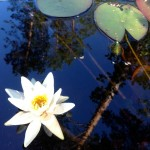 Nature in Finland and The Lakes water Lilly