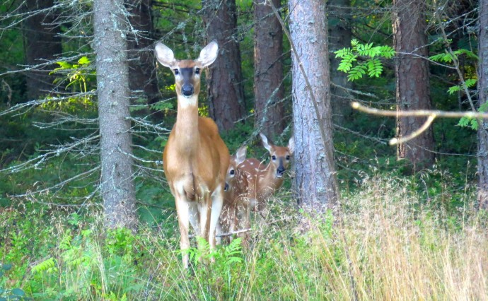 Berries, white tails and the forest